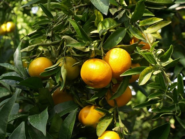 mandarinas dulces