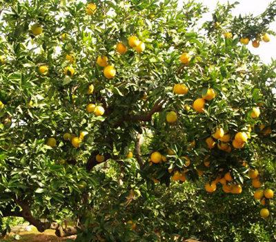 naranjas valenciana online